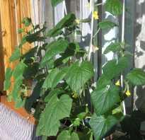 Как вырастить на балконе самоопыляемые огурцы