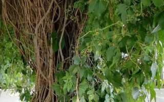 Как обрезать виноград на беседке 4 годичный осенью