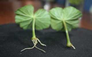 Можно ли вырастить герань из листочка