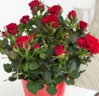 Как ухаживать за розами покупными