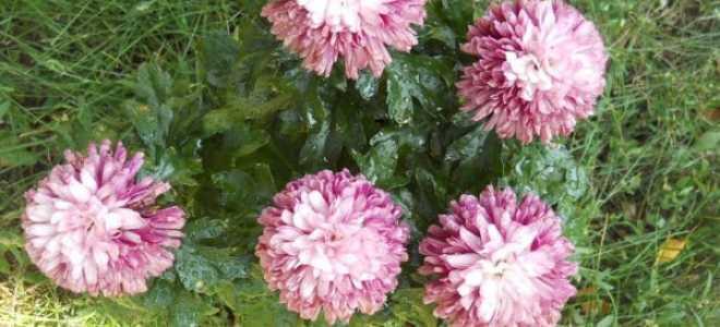 Как сохранить мультифлора хризантемы зимой