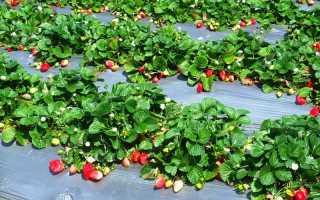 Можно ли весной пересаживать клубнику на новое место