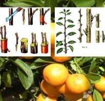 Как привить мандарин в домашних условиях чтобы он плодоносил