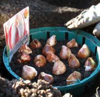 Как сажать маленькие луковицы тюльпанов