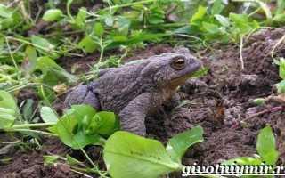 Земляные лягушки в огороде вред или польза