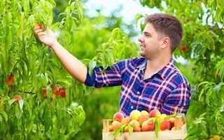 Можно ли привить на абрикос персик
