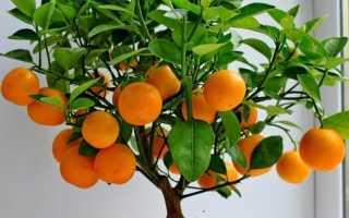 Как ухаживать за orange citrina
