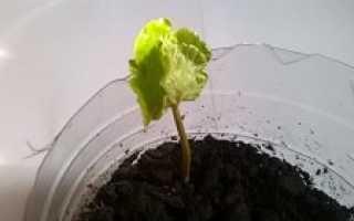 Как из зерна вырастить кофейное дерево