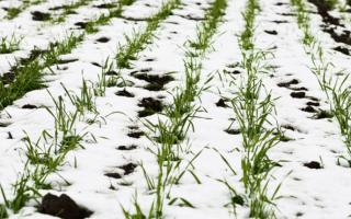 Как сеять озимую рожь как сидерат когда сеять