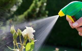 Как обработать розы осенью железным купоросом
