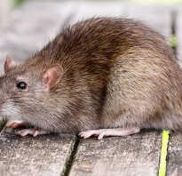 В чем сходство крысы серой с черной крысой