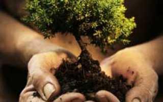 Как пересадить дуб осенью