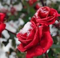 Чем можно укрыть розы на зиму кроме лапника