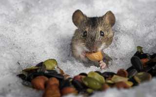 Мышь делает запасы на зиму или нет