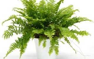 Можно ли выращивать папоротник дома приметы
