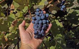 Как обрезать виноград изабелла
