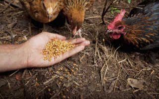 Чем кормить куриц чтобы яйца несли зимой