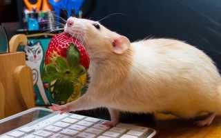 Можно ли картошку крысам