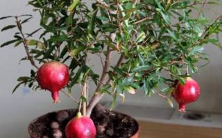 Как вырастить гранат из семян в домашних условиях