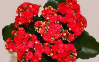 Как часто цветет каланхоэ в домашних условиях