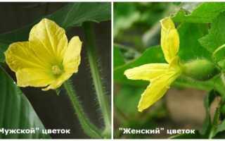 Огурцы в теплице не завязываются только цветут
