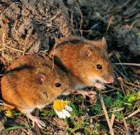 Как избавиться от полевых мышей в доме