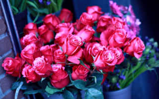 Можно ли выращивать розы в квартире