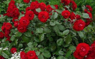 Какие растения можно сажать рядом с розами