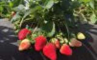 Можно ли пересаживать клубнику делением куста