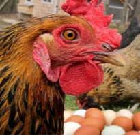 Куры несушки клюют свои яйца что делать
