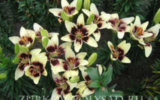 Какую почву любят лилии и лилейники