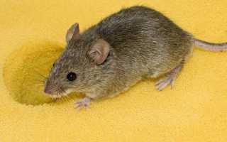 Какой запах травы боятся мыши