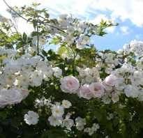 Как ухаживать осенью за вьющимися розами
