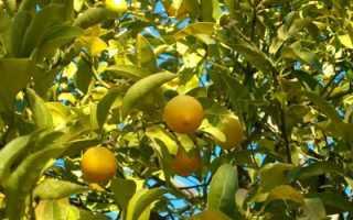Можно ли осенью пересадить лимон