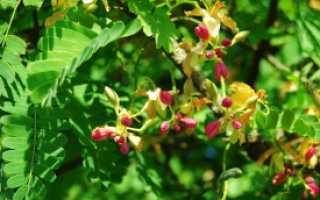 Как вырастить тамаринд из косточки в домашних условиях