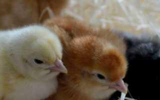 У цыплят кал с кровью что делать