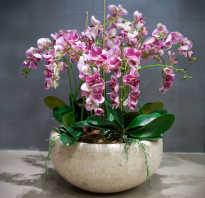 Можно ли несколько орхидей сажать в один горшок