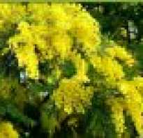 Мимоза цветок как вырастить