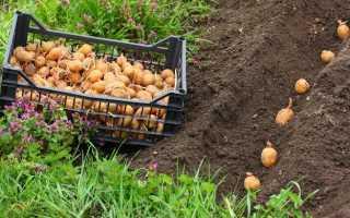 Что можно сажать после картофеля на следующий год таблица