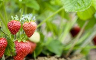 Можно ли пересаживать клубнику с ягодами