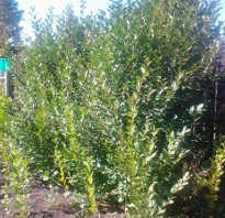 Как избавиться от поросли вишни и сливы на участке