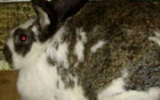 Как ведет себя беременная крольчиха