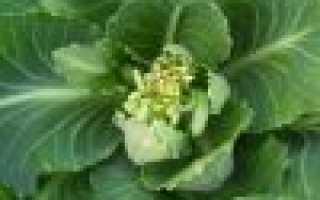 Как размножается капуста белокочанная