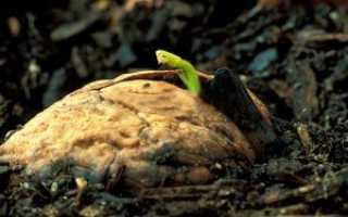 Можно ли вырастить дерево грецкого ореха из ореха
