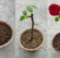 Как обрезать розы чтобы дали корни