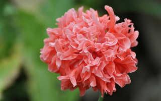 Мак пионовидный можно ли выращивать