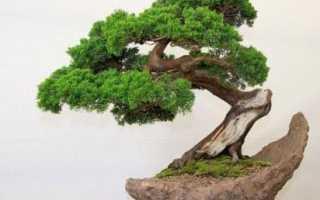 Как вырастить карликовое дерево дома