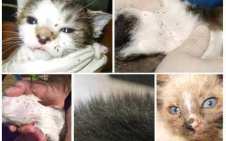 Капли от блох для кошек куда капать
