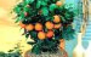 Как правильно поливать мандариновое дерево