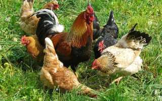 Как размножаются петухи и курицы